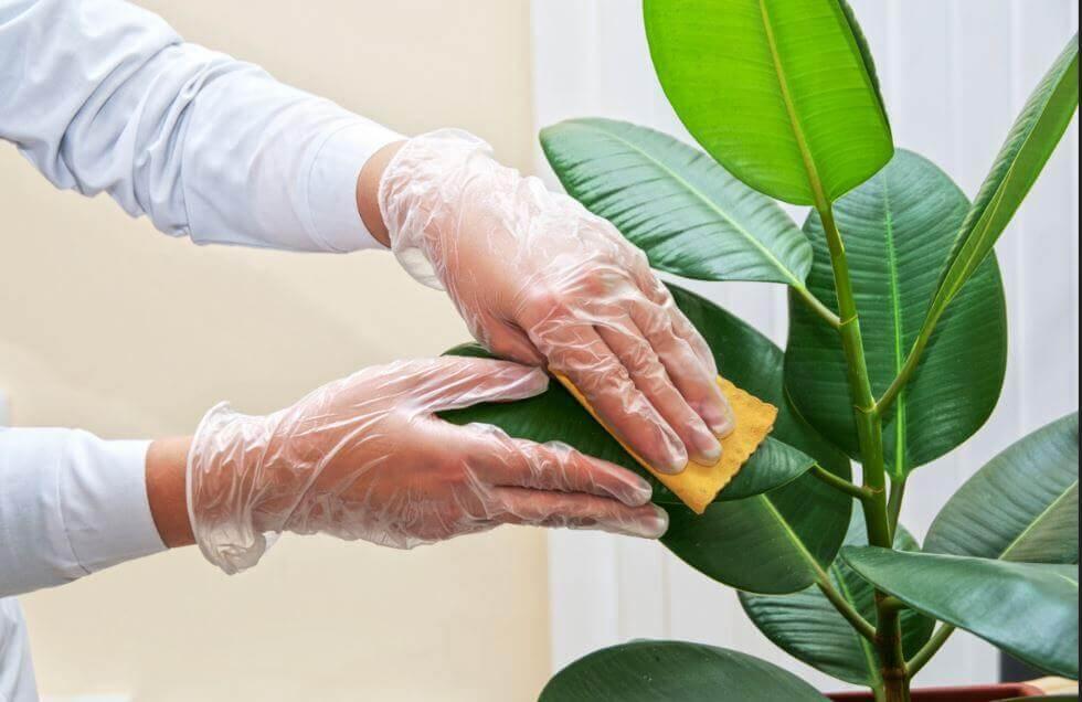 घर के पौधों की सफ़ाई कैसे करें