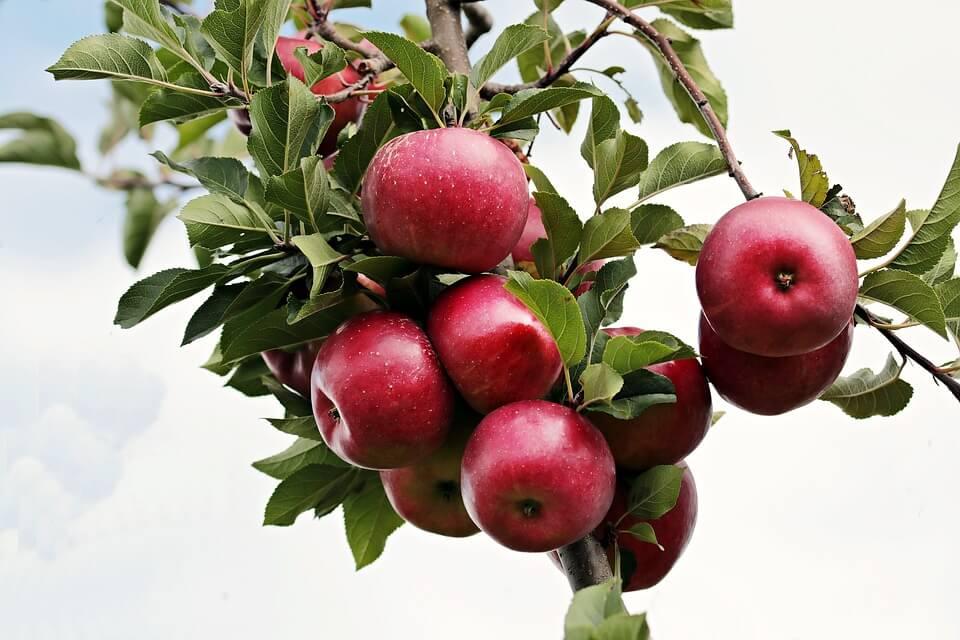 क्या आप जानते हैं, सेब खाकर आप अपनी सेहत को देते हैं ये अद्भुत वरदान
