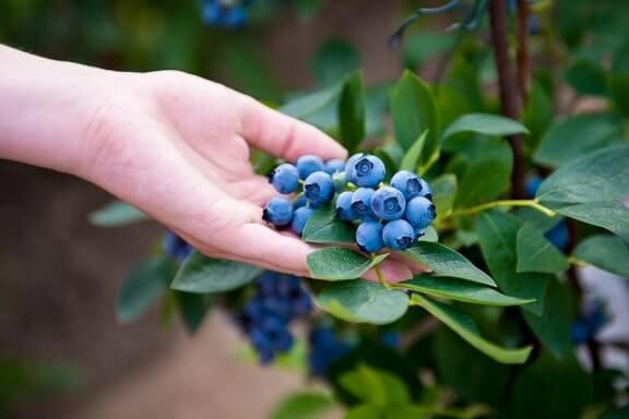 घर पर ब्लूबेरी कैसे उगाएं