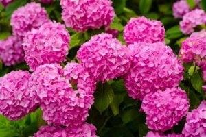 खतरनाक पौधे : हाइड्रेंजिया (Hydrangeas)