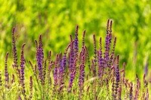 खतरनाक पौधे : सैल्विया डिविनोरम (Salvia divinorum)