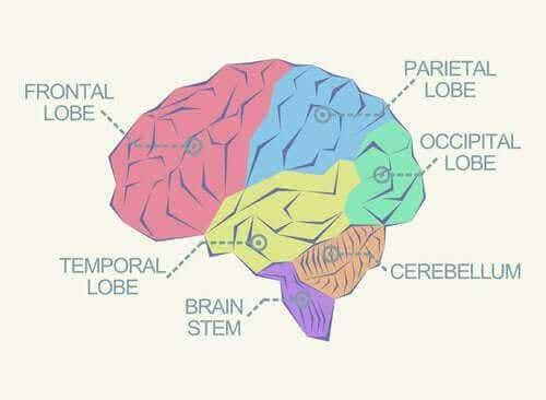 मस्तिष्क के विभिन्न हिस्से